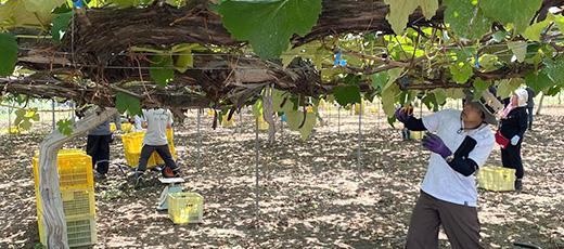 農園作業 ワインづくり